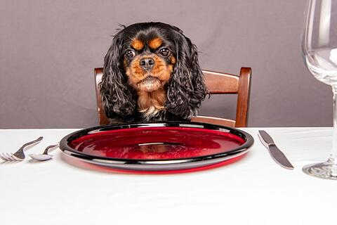 Funny dog sitting at a table. Hangry human expression.